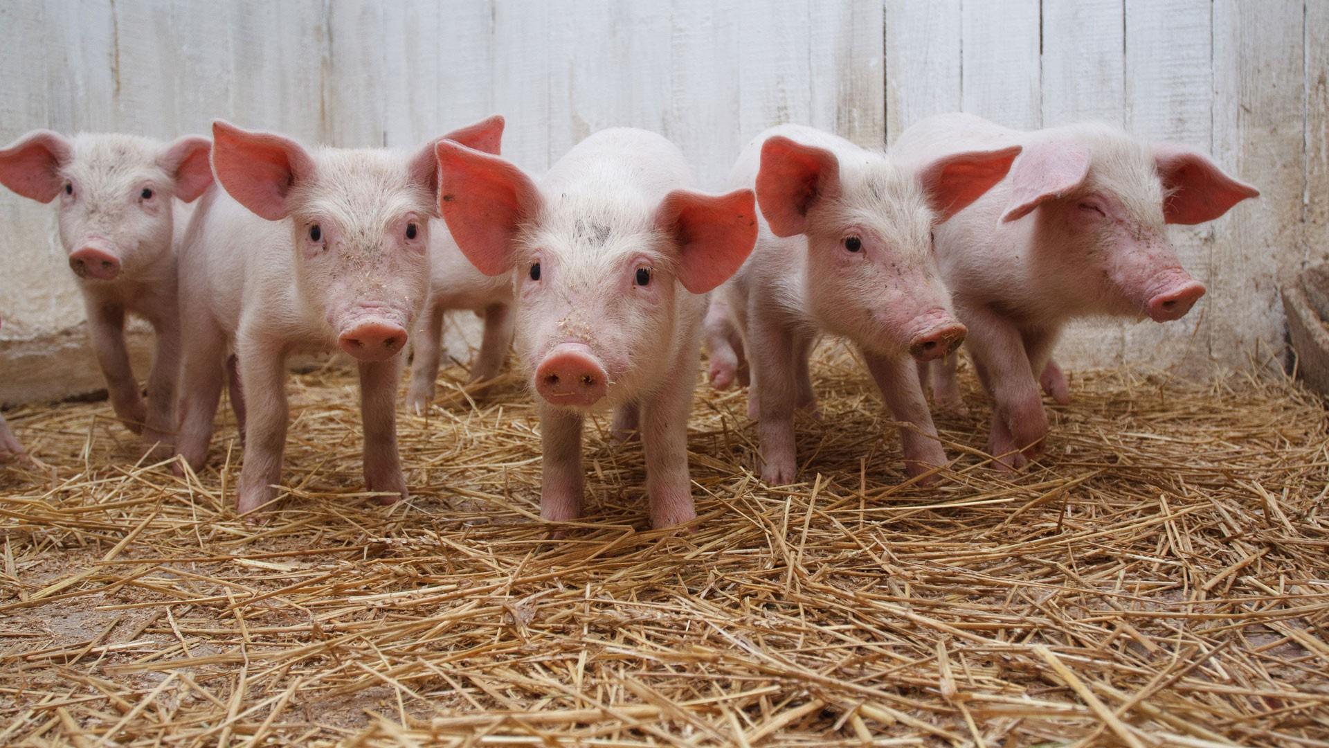 Смотреть спаривание свиней