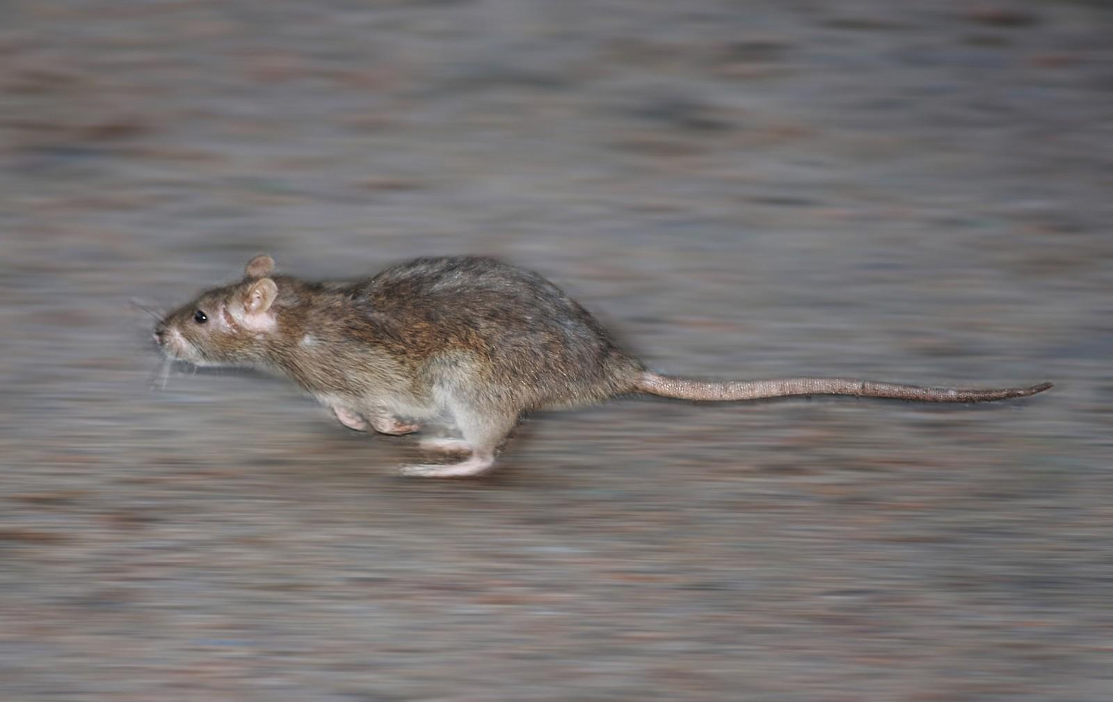 Учёные В мозге крыс имеется нейронный спидометр