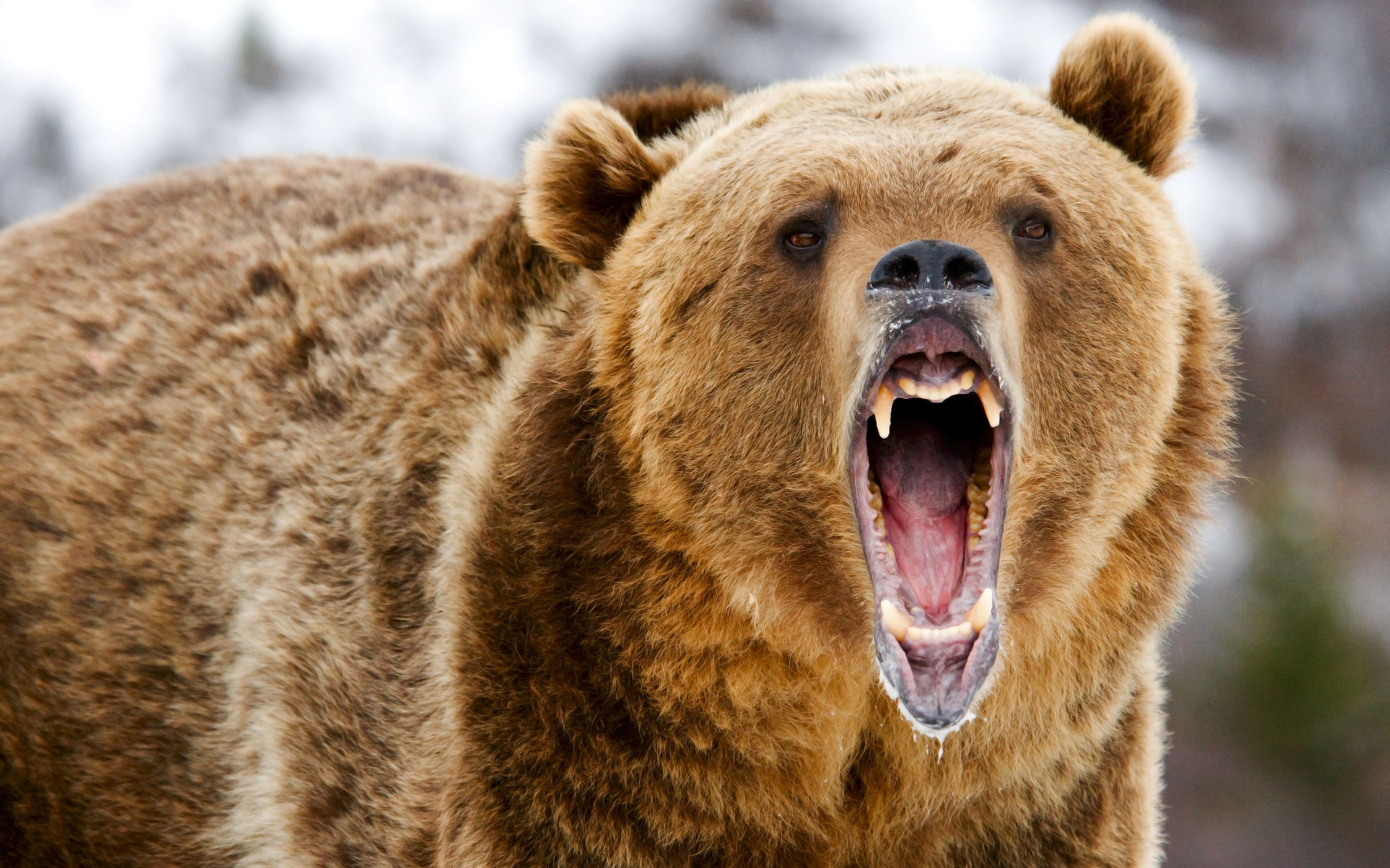 На Камчатке медведь напал на туристов у Ключевской группы вулканов