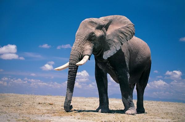 Ученые намерены создать лекарство от рака на основе слоновьего ДНК
