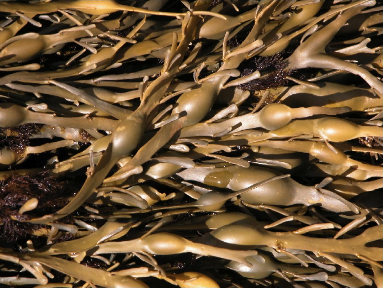 Датские ученые рекомендуют употреблять водоросли ежедневно