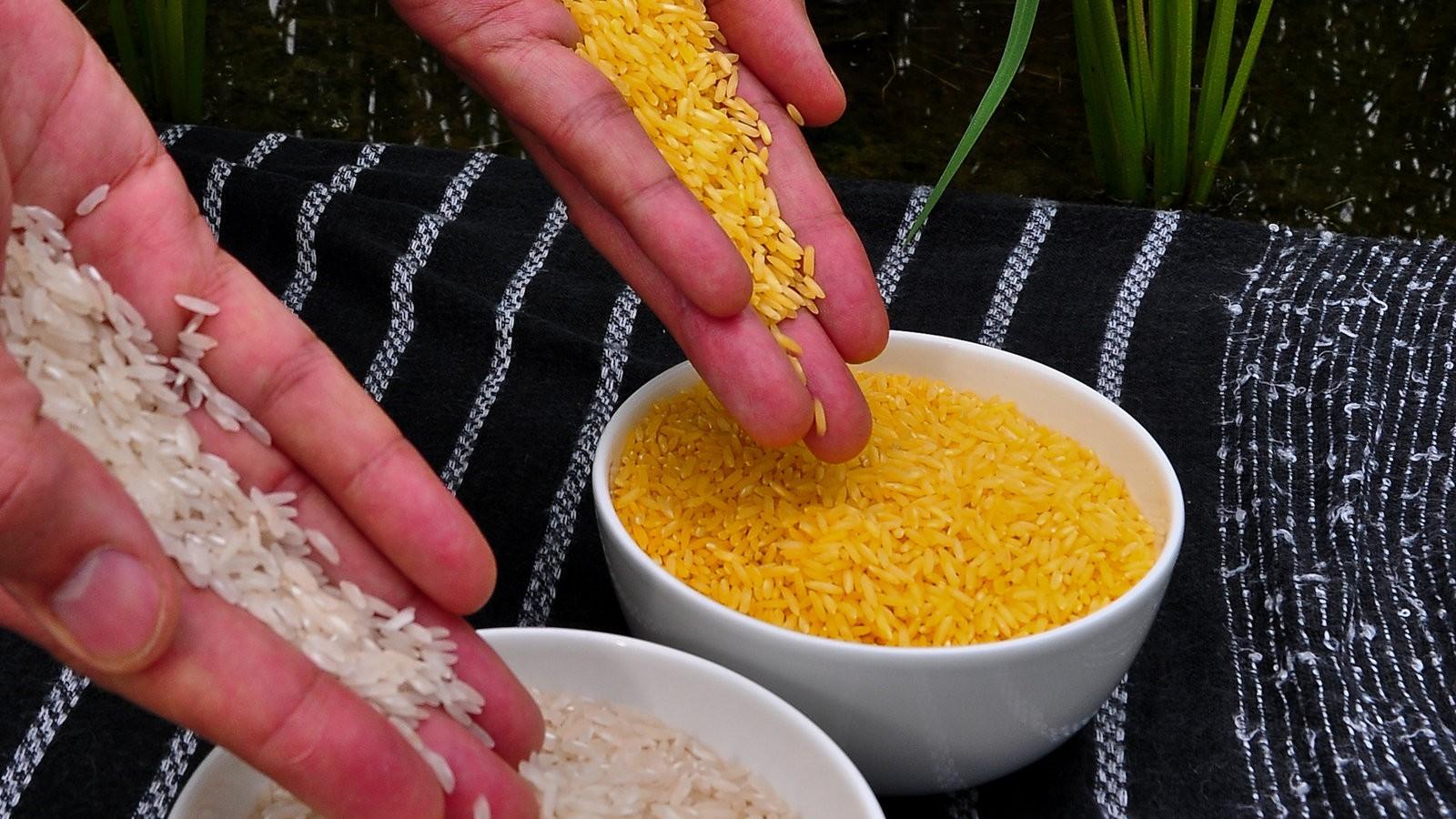 Ученые ГМО-рис является единственным спасением людей от голода