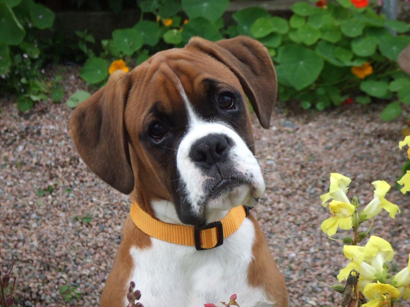 Семья из Англии клонировала умершего пса за67 тыс. фунтов