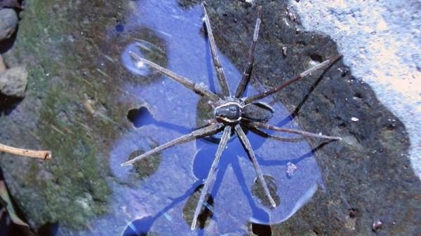 В Австралии найденный новый вид паука плавает и ест жаб