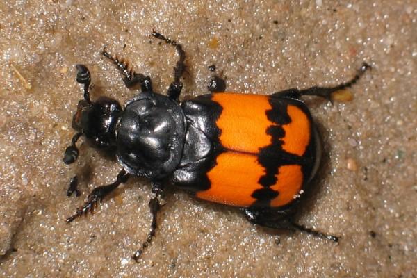 Самки жуков-могильщиков могут быть «не в настроении»