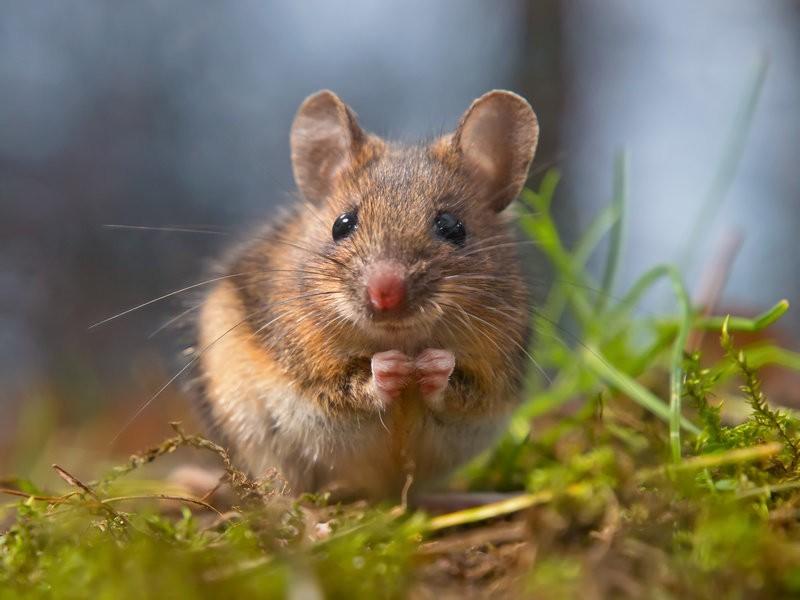 Висследовании иммунитета человека помогут «грязные» мыши— Ученые