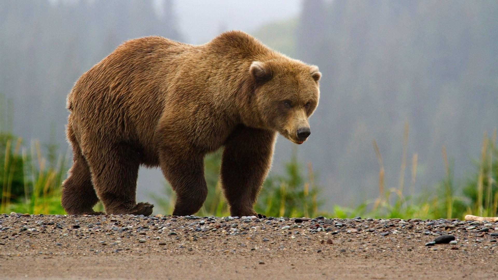 ВРФ медведь разорвал водителя