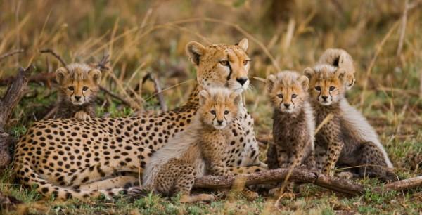 Ученые: Популяция гепардов на Земле меньше предполагаемого в два раза