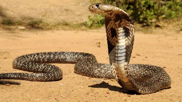 В Таиланде ведется разработка универсальной сыворотки от укусов змей
