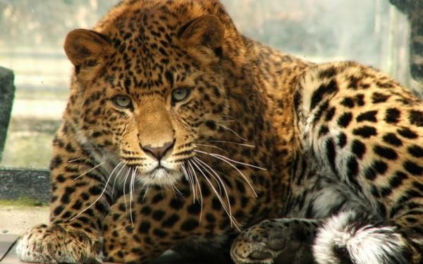 Ученые: Ареал обитания леопарда сократился на 75%