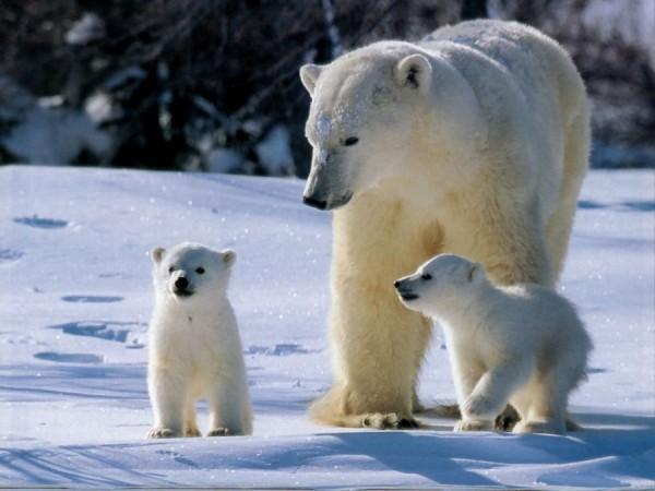 Ученые осуществили сбор данных о популяции белых медведей на Чукотке