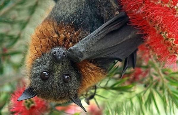 Ученые назвали уши летучих мышей «вторыми крыльями»