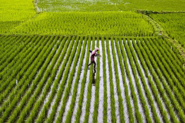 В Китае обнаружили самое древнее рисовое поле