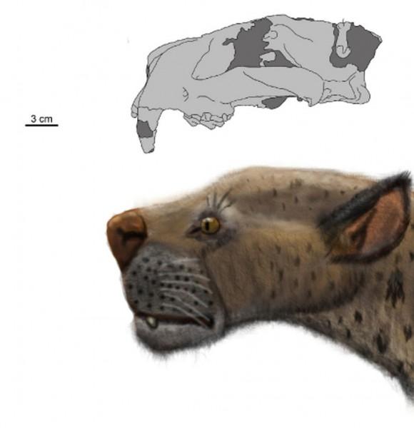 Группа исследователей из КНР и России обнаружила череп саблезубой кошки