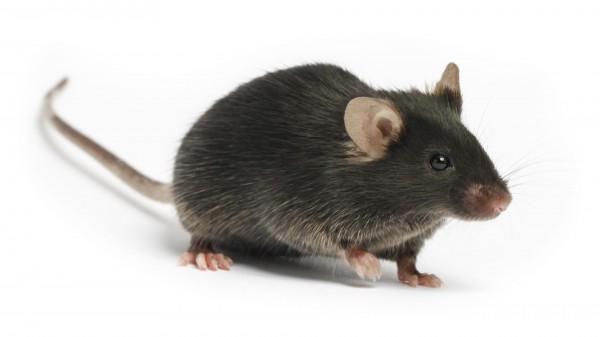 Ученые: Изменение гена Igfbp2 приводит к ожирению и вызывает диабет