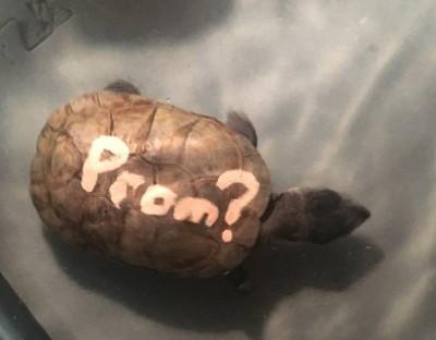 Американец выставил на продажу не способную помочь пригласить девушку на выпускной черепаху