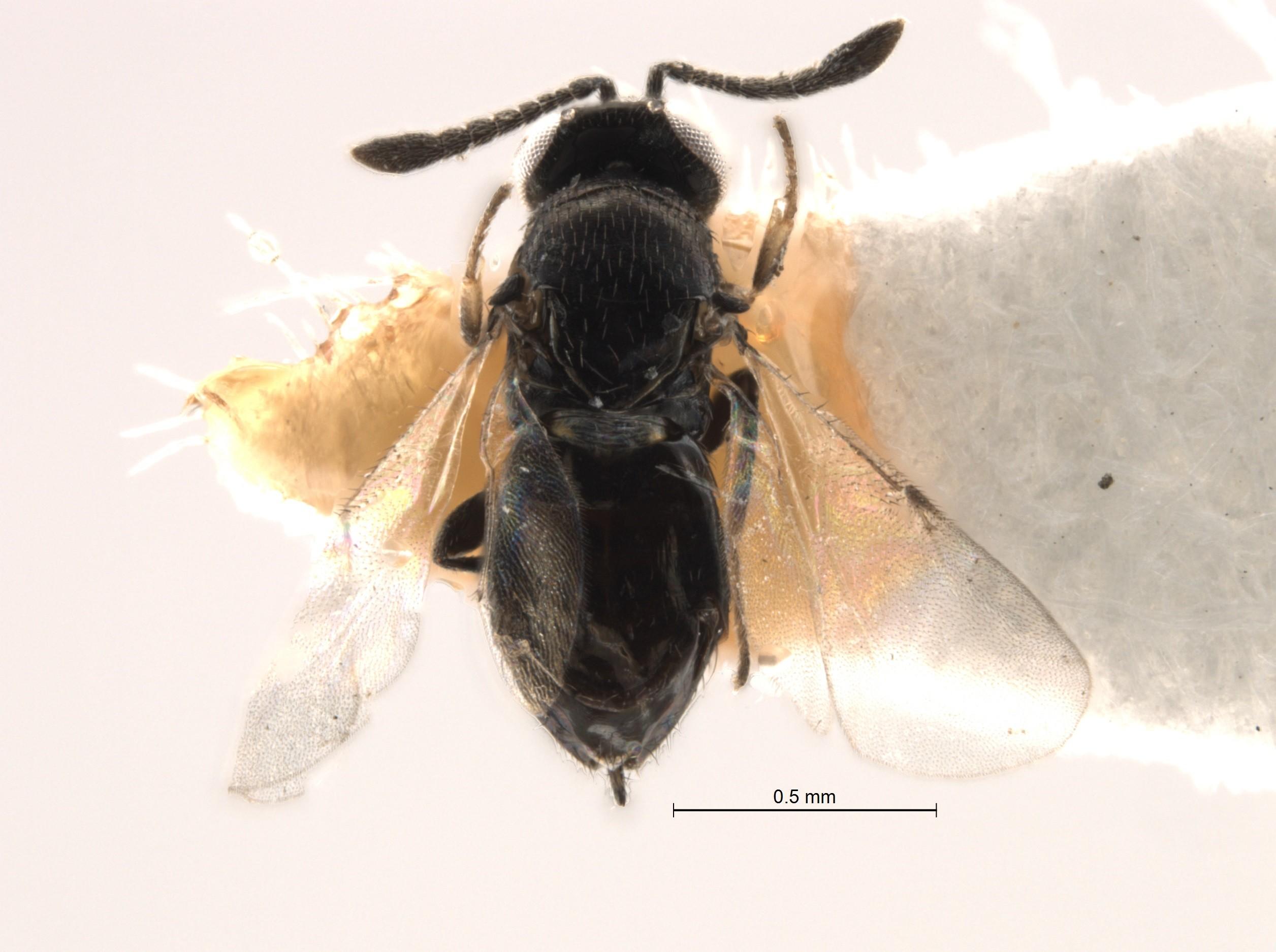 Ученые вновь открыли вид осы, который числился вымершим неменее 100 лет