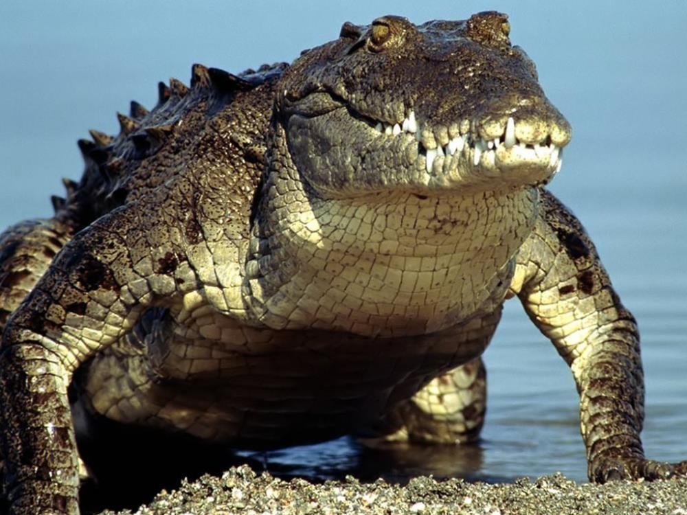 ВоФлориде убили аллигатора, утащившего вводу ребенка