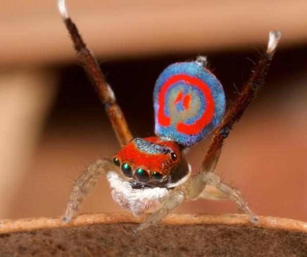 Ученые обнаружили семь новых разновидностей паука-павлина