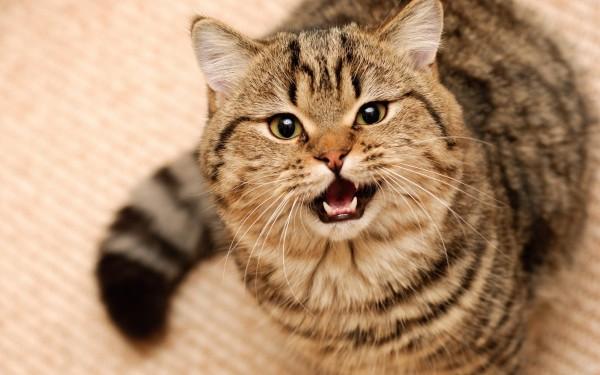 Ученые: Коты заражают людей паразитами управляющими мозгом