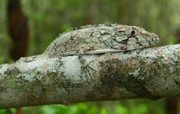 Ученые обнаружили новый вид ящериц в Доминиканской Республике