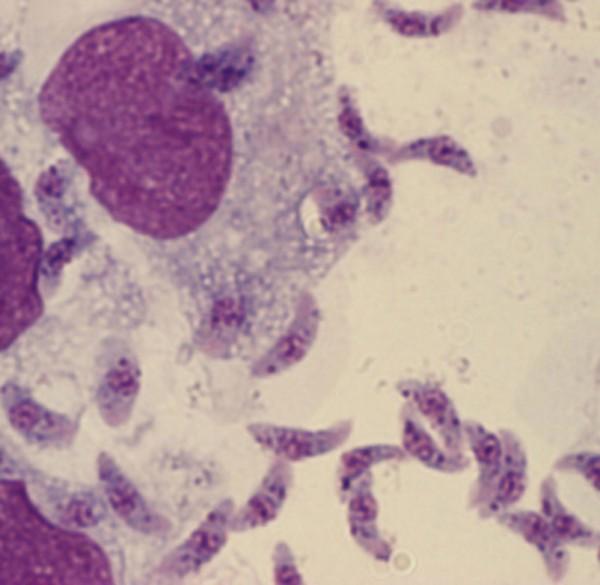 Самые мелкие паразиты на Земле обитают в человеческой слюне