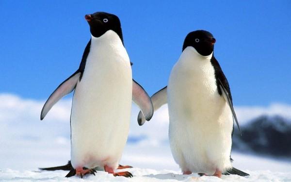 Ученые утверждают, что численность пингвинов Адели сократится на 60 % к 2099 году