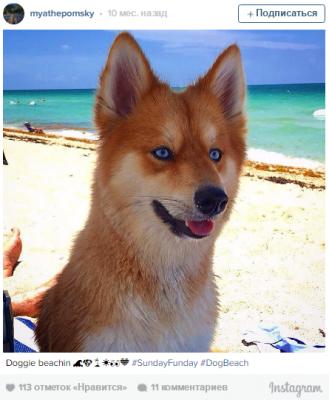 Дворняжка-лисичка из США покорила пользователей Instagram