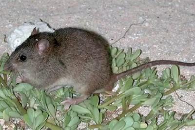 Ученые: Один вид млекопитающих вымер в результате глобального потепления