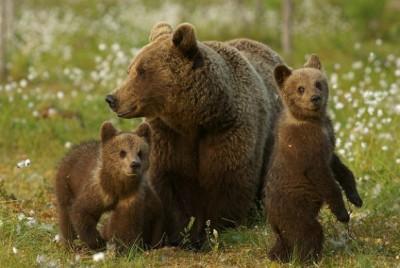 Ученые: Медведицы ради спасения детей перебираются жить ближе к людям