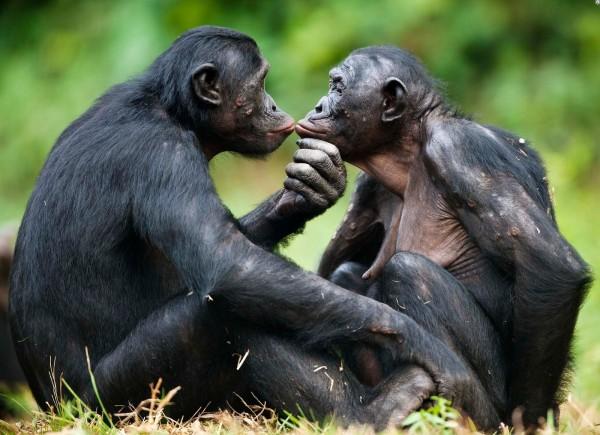 Для предотвращения агрессии самки шимпанзе применяют «сексуальные уловки»