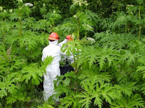 В штате Висконсин появилось новое растение с ядовитым соком