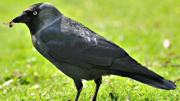 Ученые доказали пользу ворон в городе