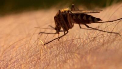 Борьба с комарами-переносчиками вируса Зика начата учеными