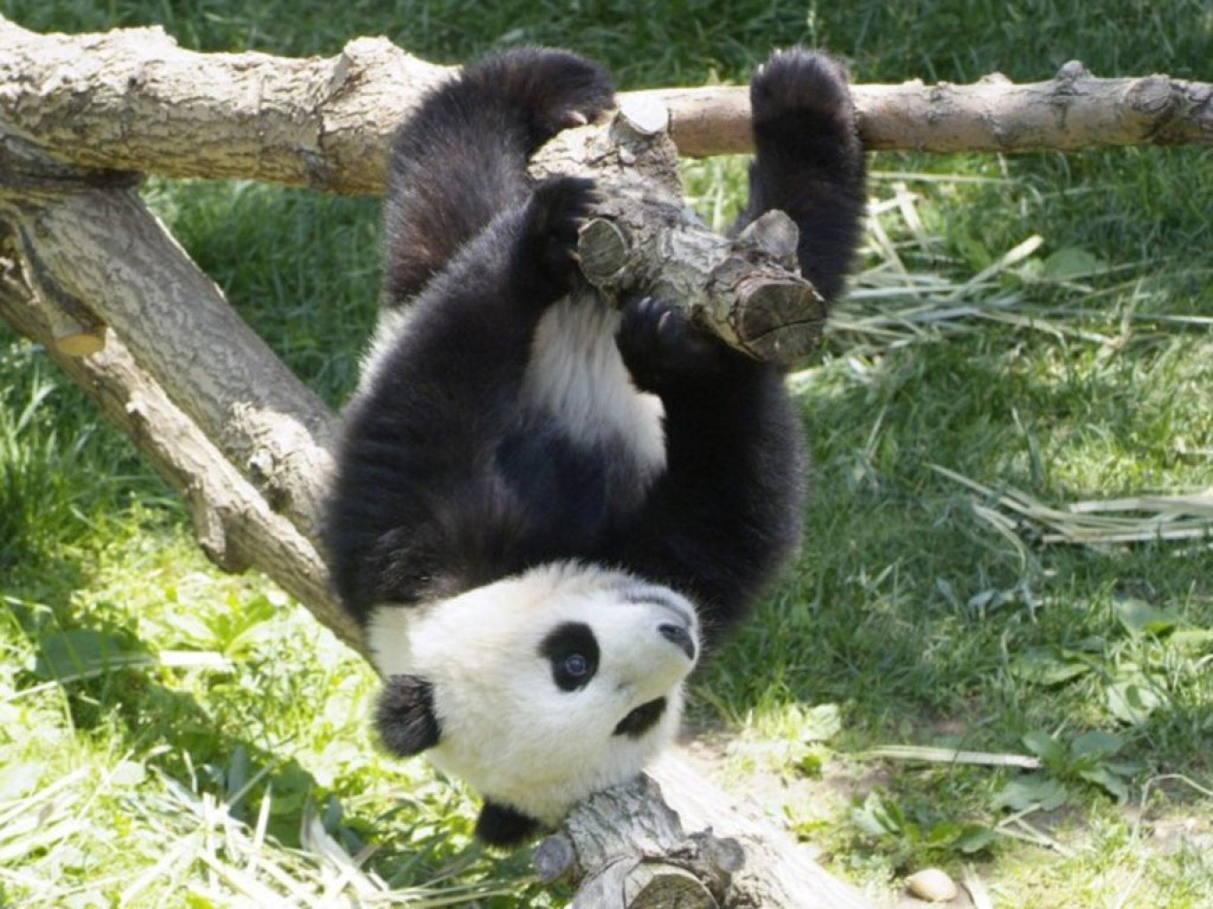 Наименее чем заполтора месяца в КНР родилась 10 пара панд