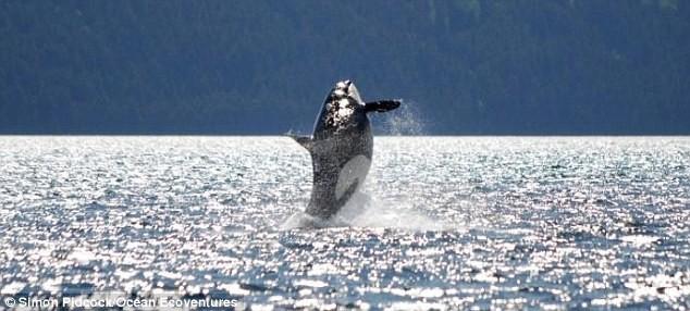 Косатка-долгожитель продолжает покорять воды мирового океана