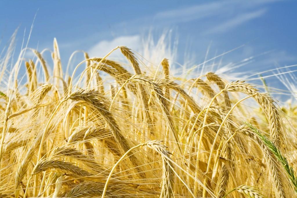 Специалисты прогнозируют рекордный урожай зерна в Российской Федерации втечении следующего года