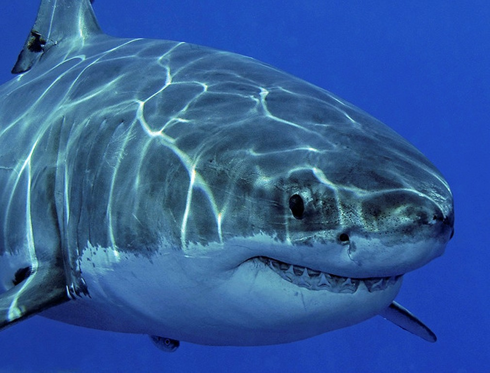 Сражаться сраком несомненно поможет кровь акул— Ученые