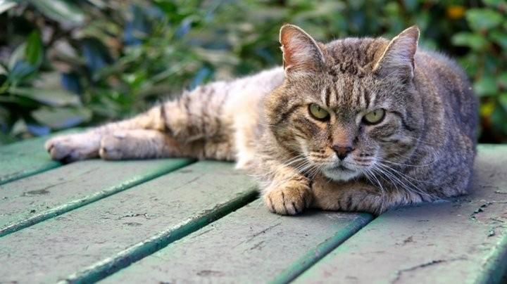 ВПетербурге восстанавливают родословную кота Петра I