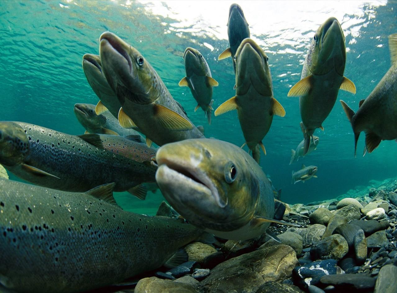 Граждане Аляски питались лососем уже 11 800 лет назад