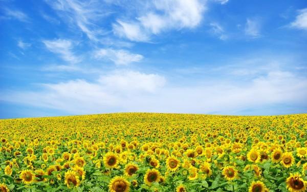 Специалисты выяснили, как подсолнух поворачивается к Солнцу