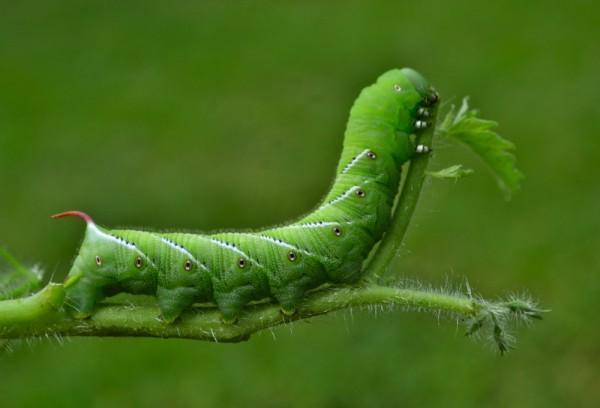Ученые секвенировали гусеницу, поедающую табак