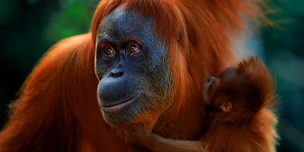 Орангутаны находятся на грани исчезновения