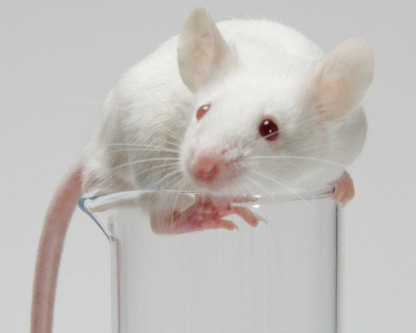 Ученые смогли сделать мышь полностью невидимой