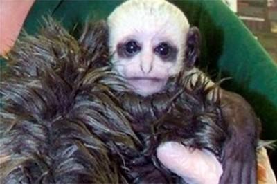 В сети обнаружили обезьяну-двойника Волан-де-Морта