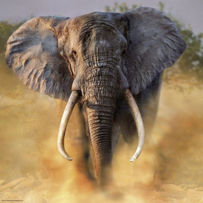 Засемь лет браконьеры уничтожили треть африканских слонов