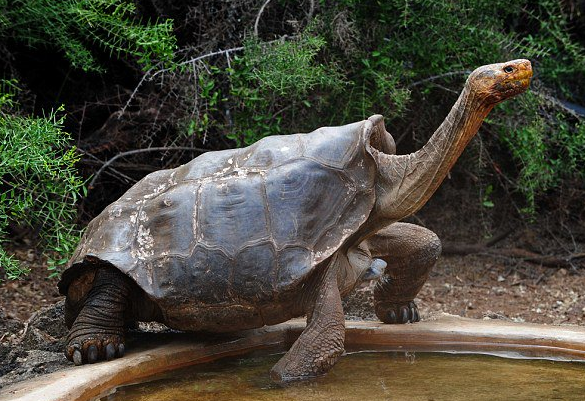 Галапагосская черепаха водиночку спасла свой вид отвымирания