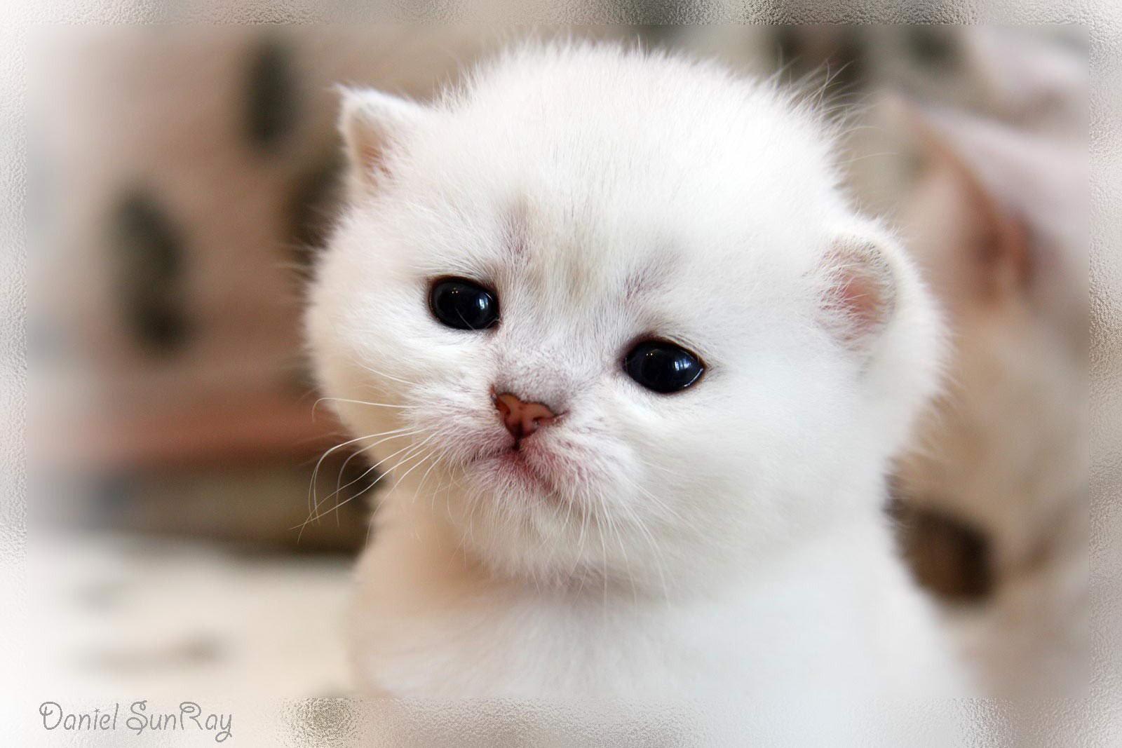Картинки белых котят милых