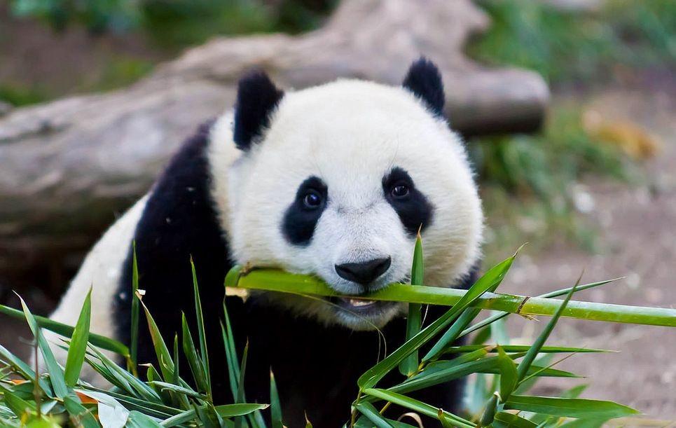 В японском зоопарке большая панда Раухин привела детеныша в восьмой раз