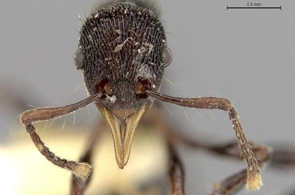 Учёные вжелудке лягушки отыскали новый вид муравьев счелюстями-щипцами